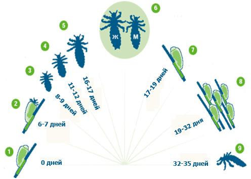 Циклы размножения вшей: гнида (0 дней), гнида (6-7 дней), нимфа (8-9 дней), нимфа (11-12 дней), нимфа (16-17 дней), взрослая самка и самец, гнида (17-19 дней), гниды (19-32 дня), взрослая особь (32-35 дней)