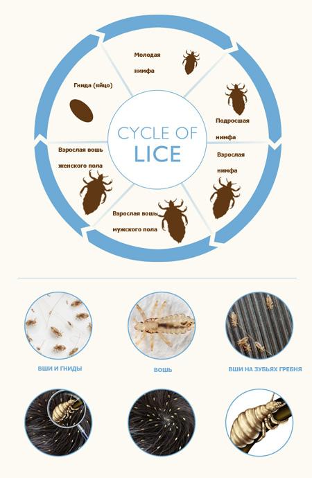 Циклы жизни вшей: гнида (яйцо), молодая нимфа, подросшая нимфа, взрослая нимфа, взрослые особи самец и самка