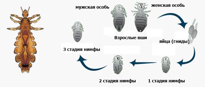 Этапы развития вшей: яйца (гниды), 1 стадия нимфы, 2 стадия нимфы, 3 стадия нимфы, самка и самец взрослых особей