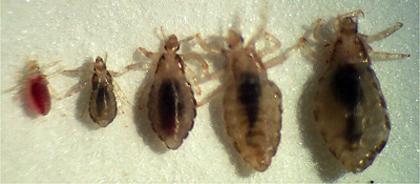 Сравнительный размер вшей в возрасте личинки, нимфы, взрослой особи