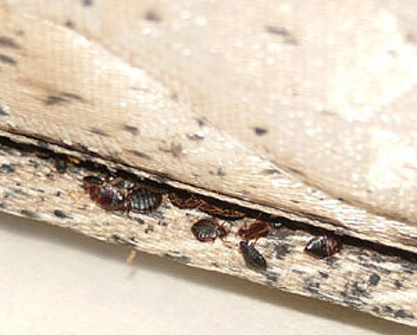 Большое количество вшей в складках постельного белья